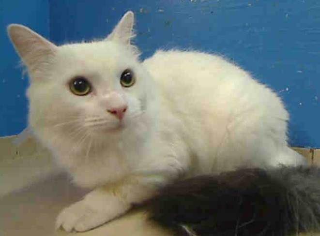 Lizzie Stunning Cat For Adoption Adopt A Cat Save A Life Cat Kitten Pet Kitten Adoption Cat Adoption Kittens
