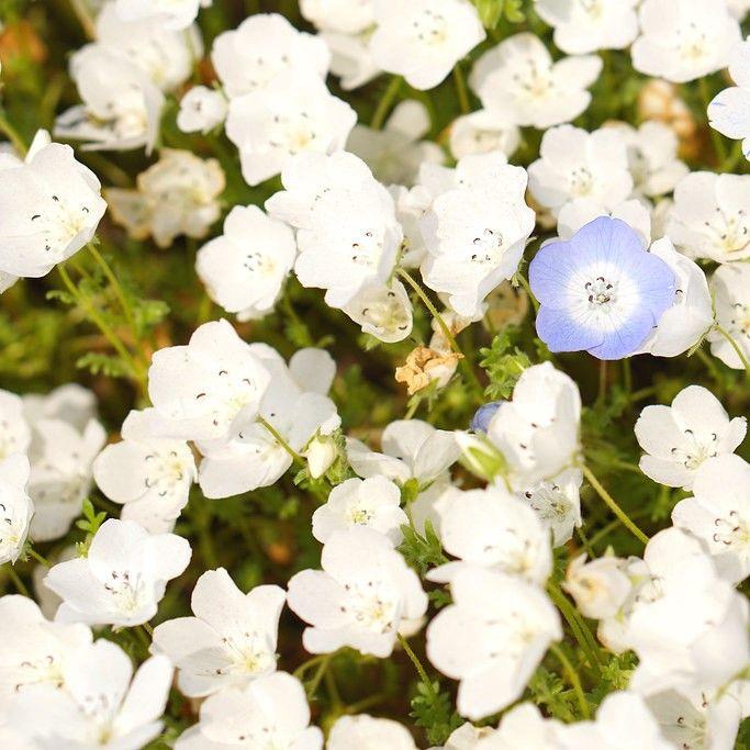 Nemophila Seeds Snow White 1 4 Pound Blooms Early Spring