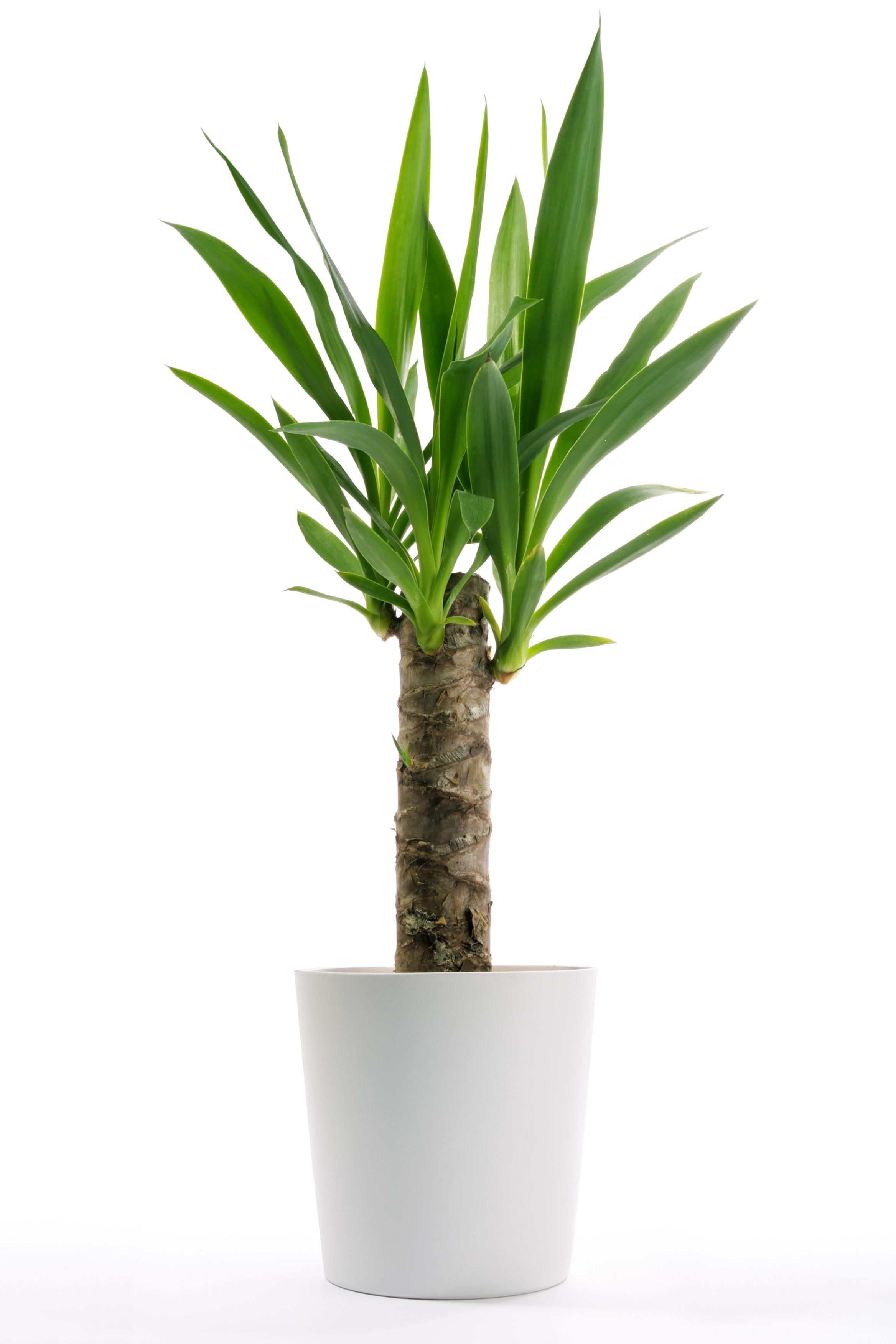 Yucca are easy to grow, requiring very little maintenance