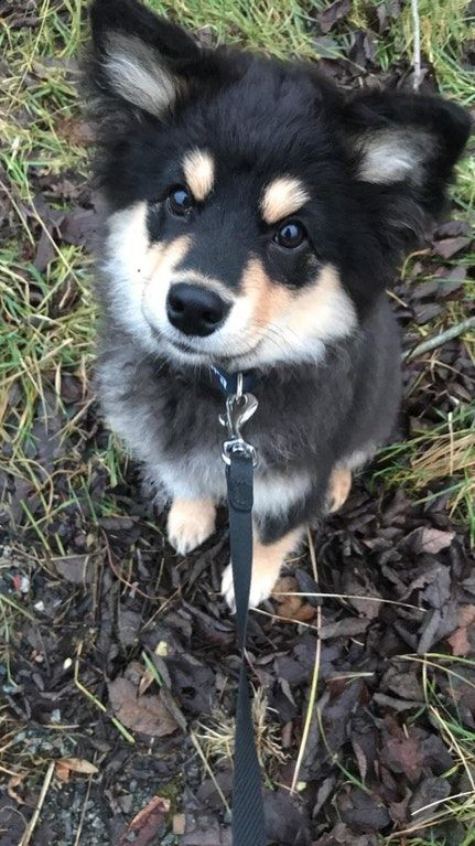 Just wanted to share my adorable new puppy (Finnish ...