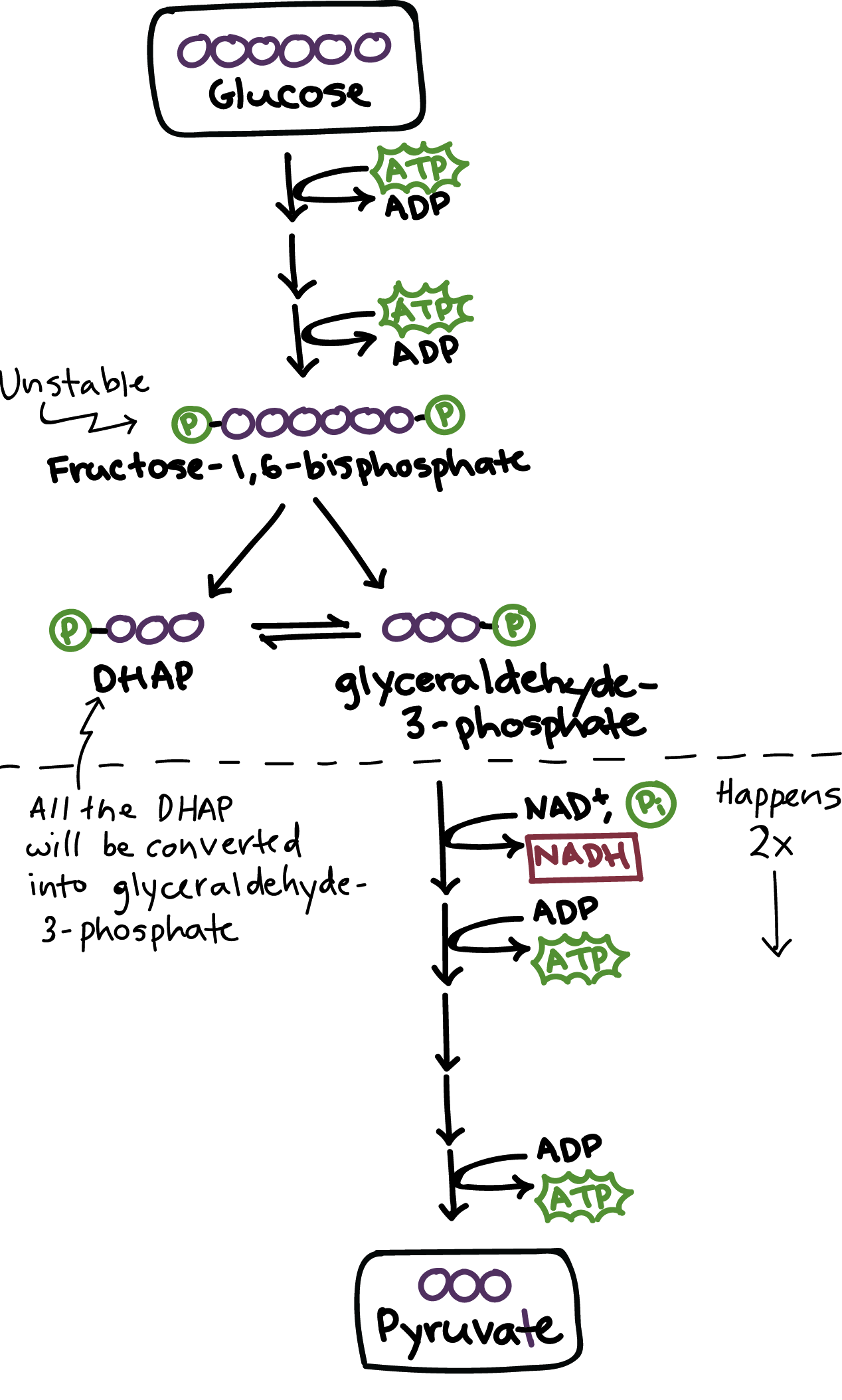 overview of the basics of glycolysis biology i amp ii