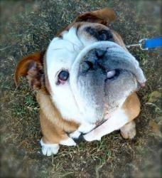 Adopt Biggy On English Bulldog Dog English Bulldog Care English Bulldog