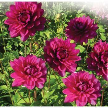 dahlia camélia berner oberland   gardens, pink garden and dahlias