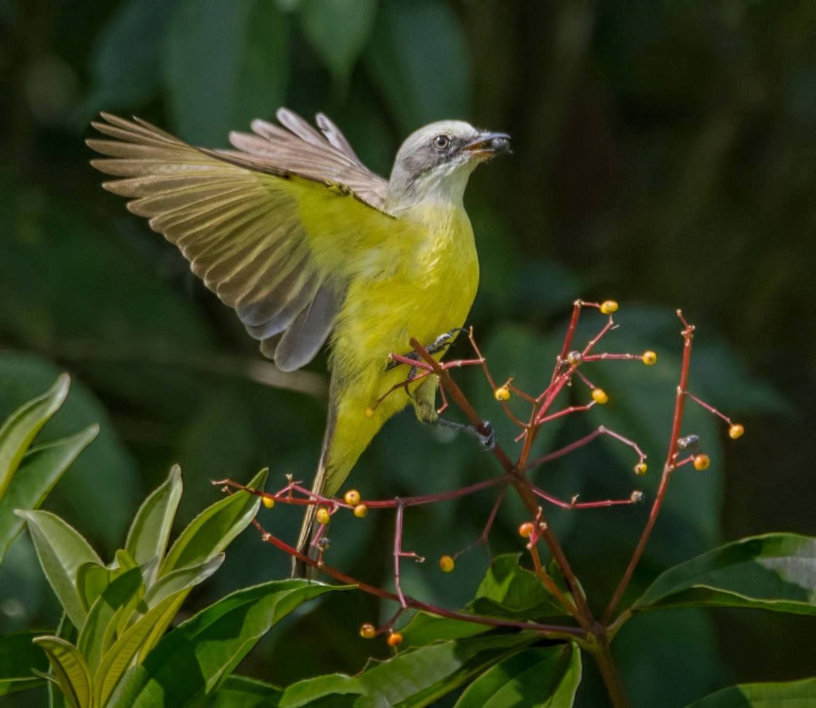Grey Capped Fly Catcher Sarapiqui Costa Rica Photographer Phyllips Plotkin