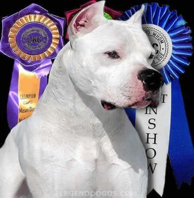 Dogo Argentino ,great family pets! I raise these, love ...