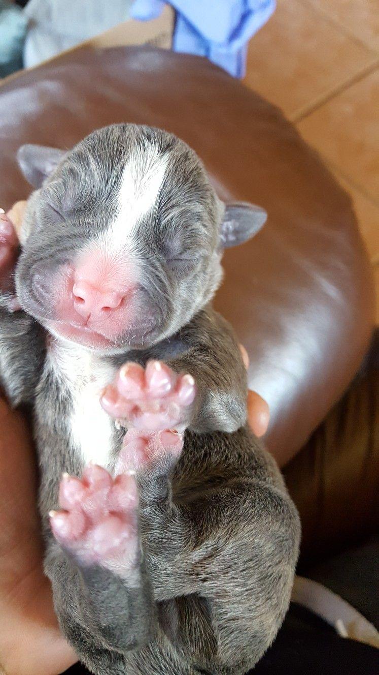 Newborn Baby Pitbulls : newborn, pitbulls, Newborn, Puppies, Puppies,, Bulldog, Animals