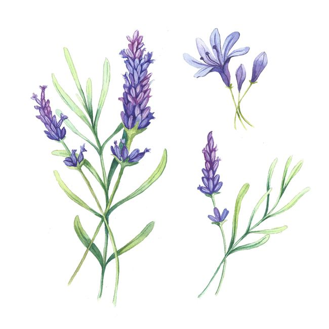 Lavender Plant Drawing Flowers on Behance | T...