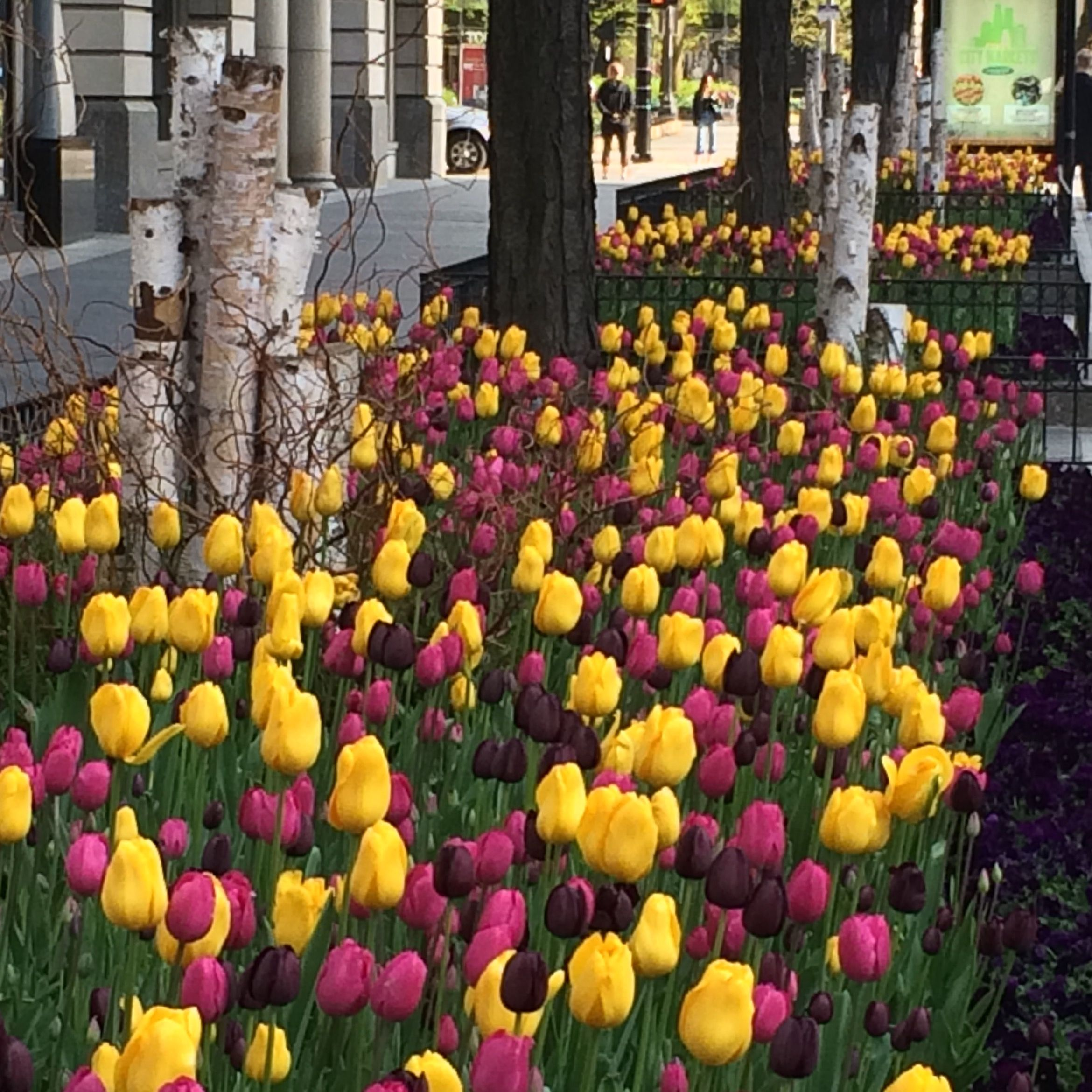 There Are Still A Few Late Blooming Tulips On Michigan Avenue Insta Flowers Magmile Magnificentmile Mychicago Purple Flowers Yellow Flowers Spring Flowers