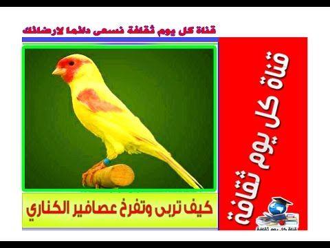 تربية عصافير الكناري كيف تربى وتفرخ عصافير الكناري تربية العصافير
