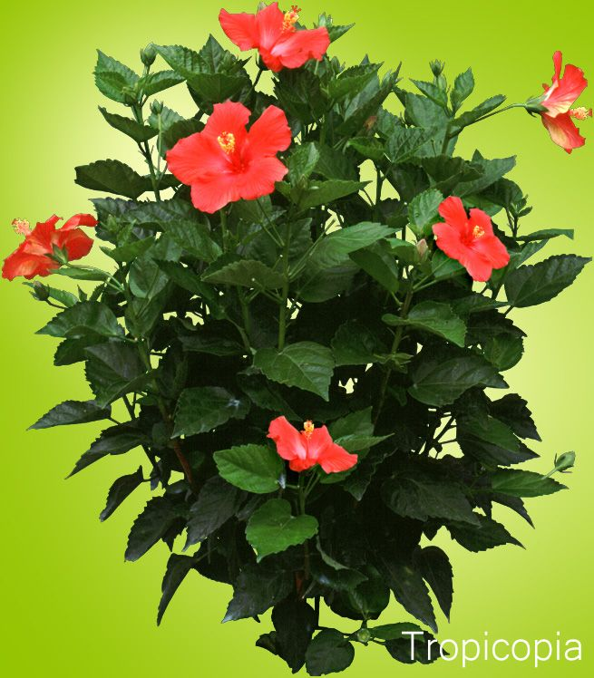 Red Hibiscus Plant With Dark Green Leaves Hibiscus Plant Hibiscus Tree Growing Hibiscus
