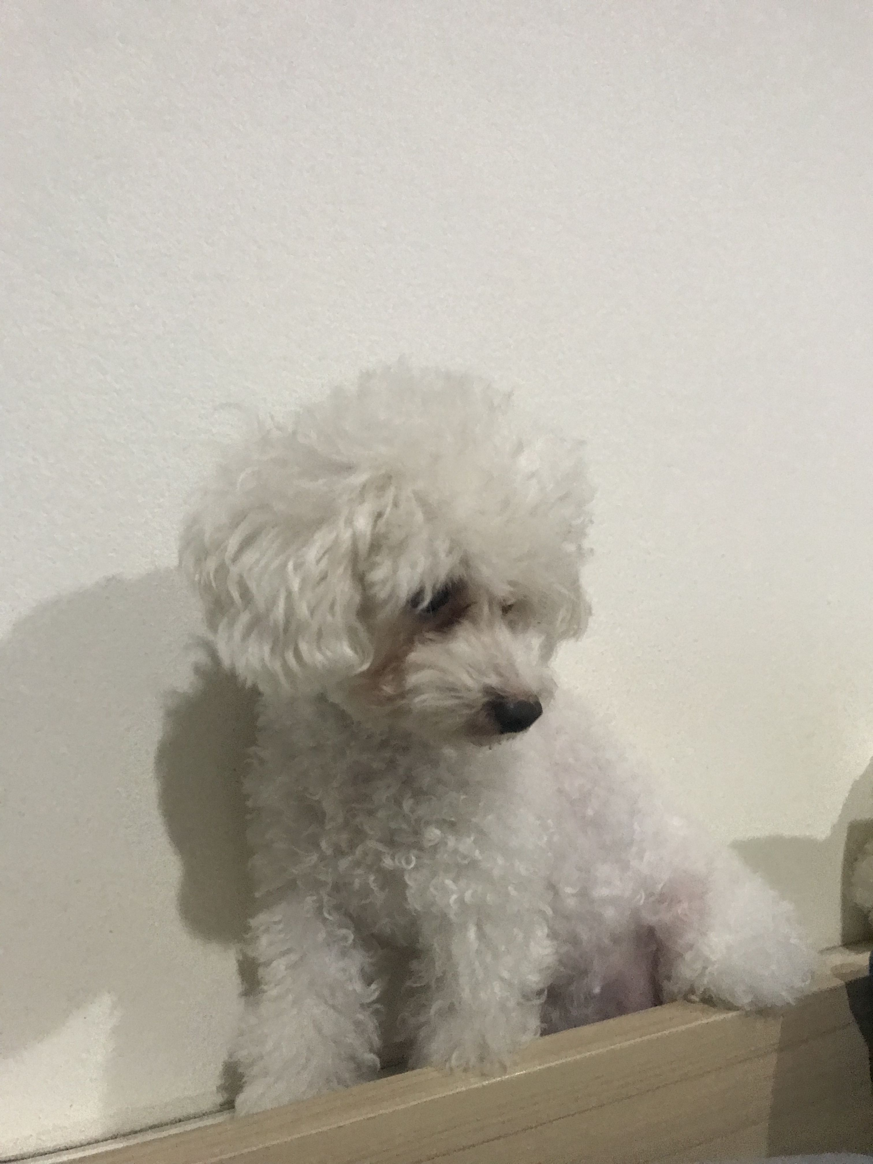 White Toy Poodle Looking Something So Cute White Toy Poodle