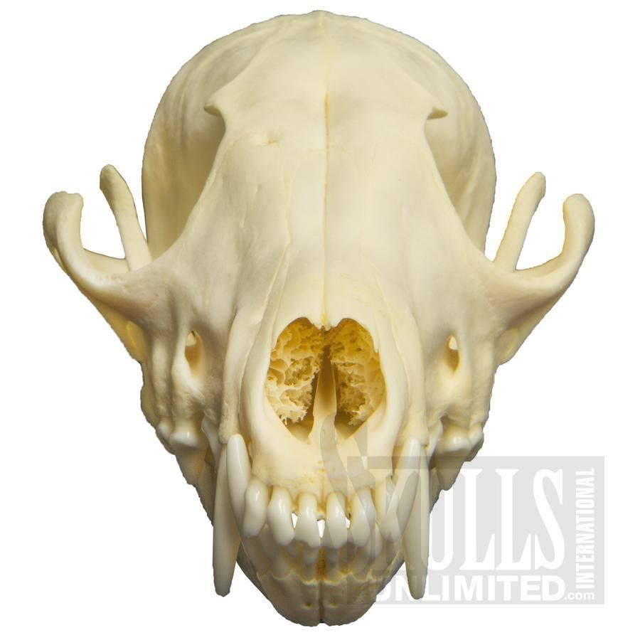Image result for fox skull | KS ideas | Pinterest | Fox skull