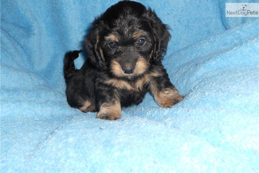 Meet Dasher a cute Dachshund Dachshund mix, Dachshund