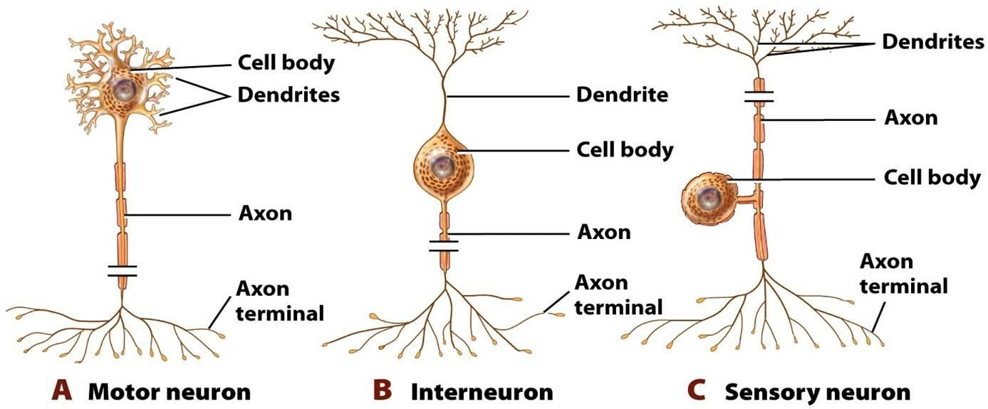 Sensory Neuron Diagram Blank - Electrical Work Wiring Diagram •