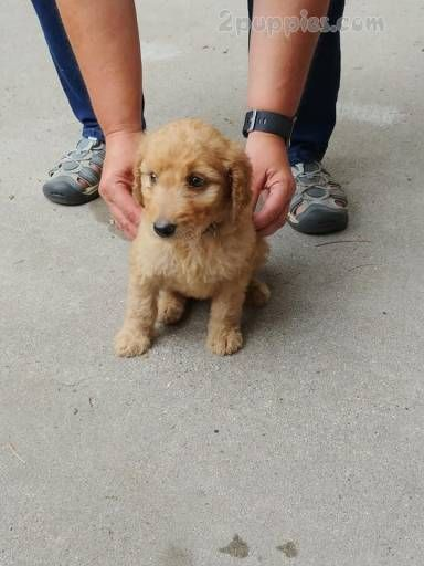 Golden Doodle Dogs For Sale In United States Michigan Saginaw