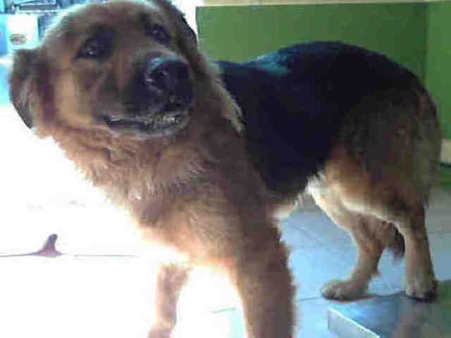 Super Urgent High Kill Shelter Tiger A4678942 German Shepherd