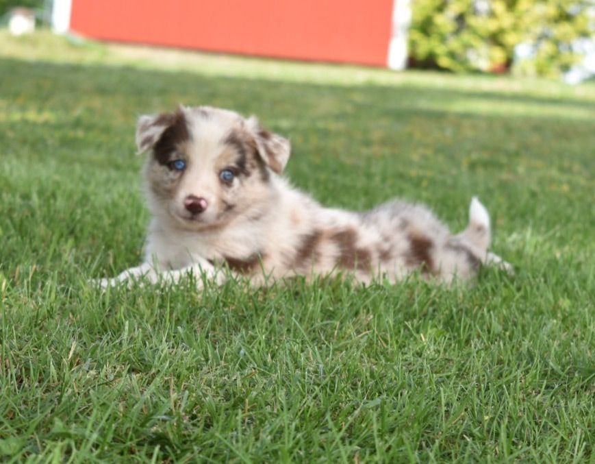 Gorgeous Red Merle Border Collie Puppy With Blue Eyes Red Merle Border Collie Border Collie Puppies Border Collie