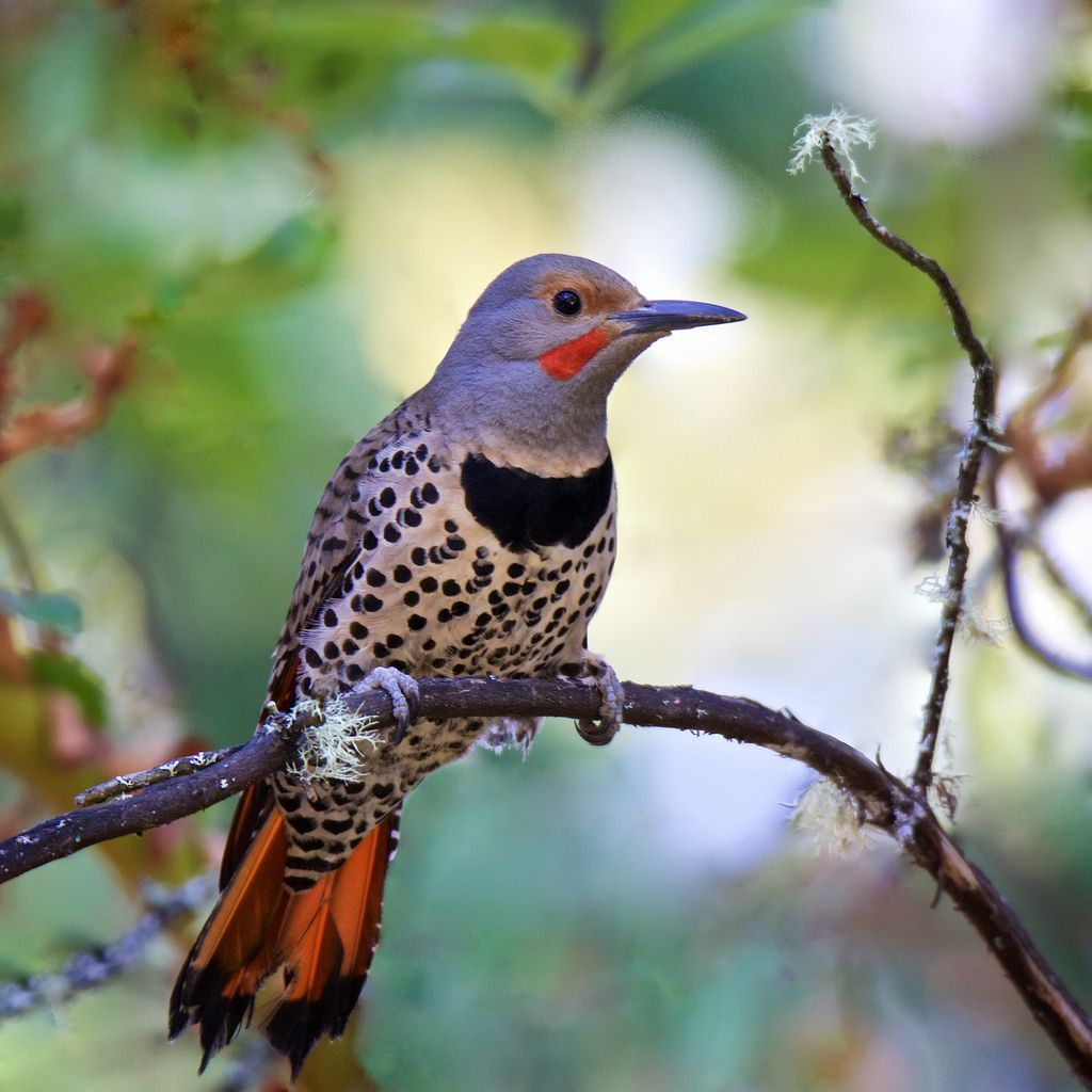Colaptes auratus cafer ~ Red-shafted Northern Flicker in ...