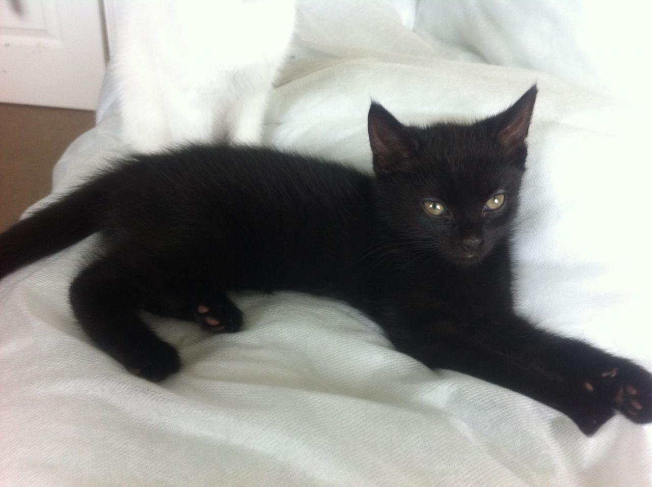 Gorgeous Purebred British Shorthair Kittens British Shorthair Kittens Cats Kittens Kittens