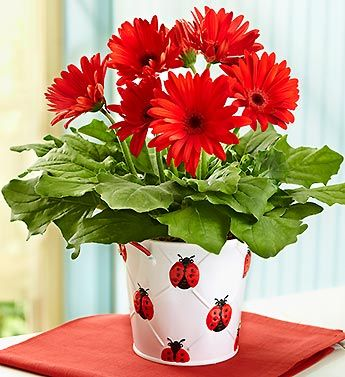 Lucky Ladybug Gerbera Daisy Plant In 2020 Fresh Flowers Online Flower Pots Gerbera Daisy