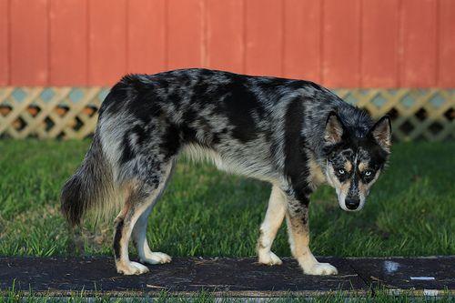 Siberiean Husky X Aussie Cattle Dog Puppy Dog Pictures Unique