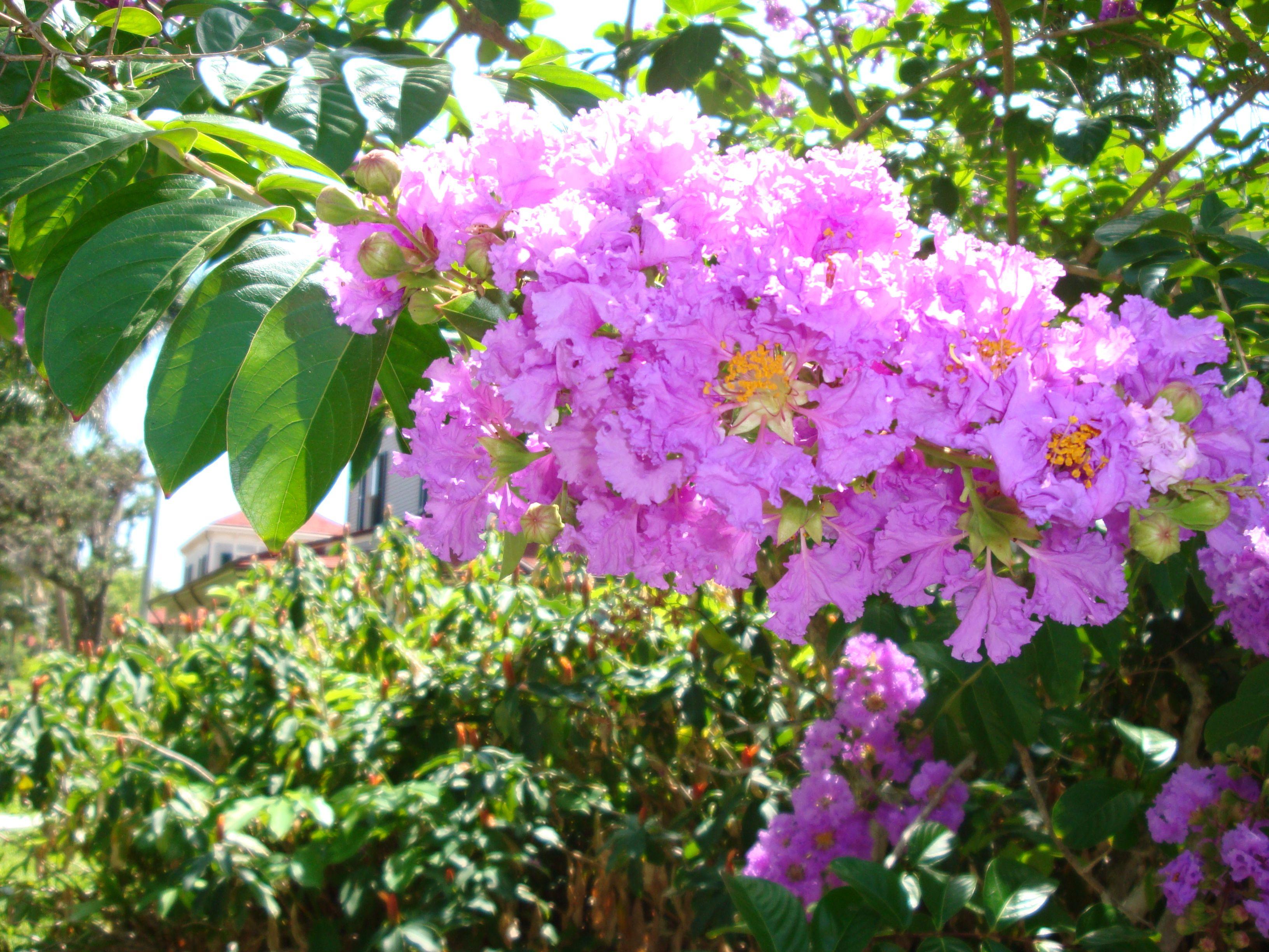 Queen\'s Crape Myrtle   Central Florida Landscape and Garden ...