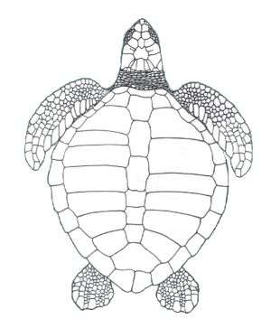 olive ridley turtle top-down view - Google 検索   turtles ...