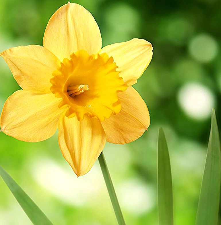 14 Facts Every Daffodil Devotee Should Know Daffodil Facts Daffodils Calla Lily Wedding Flowers Daffodil Bulbs