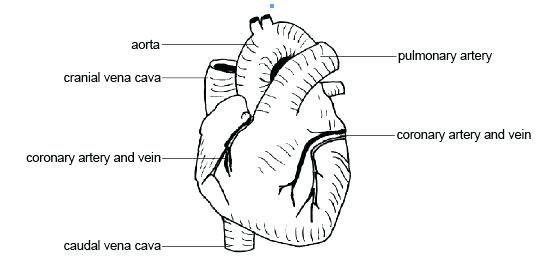 printable anatomy labeling worksheets pdf heart diagram to