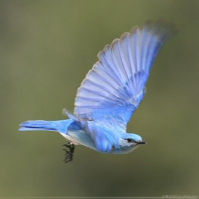 الطائر الازرق Blue Bird Flying Bird Tattoo Birds Flying