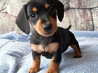 And A Doxen Named Pickle Dachshund Puppies Dachshund Puppies