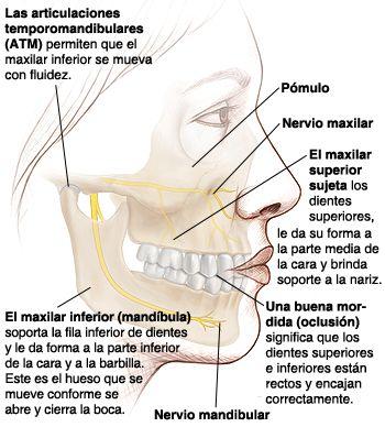 mandibula si maxilar