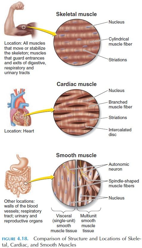Pin by M.V. TV on Human Anatomy , Structure, Physiology | Pinterest ...