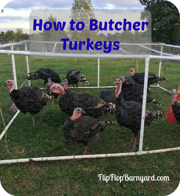 How To Butcher A Turkey- Humanely