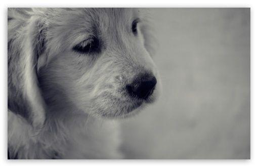 Do Dogs Sweat Through Their Tongue Barking Royalty Golden Retriever Wallpaper Dogs Golden Retriever Dog Wallpaper