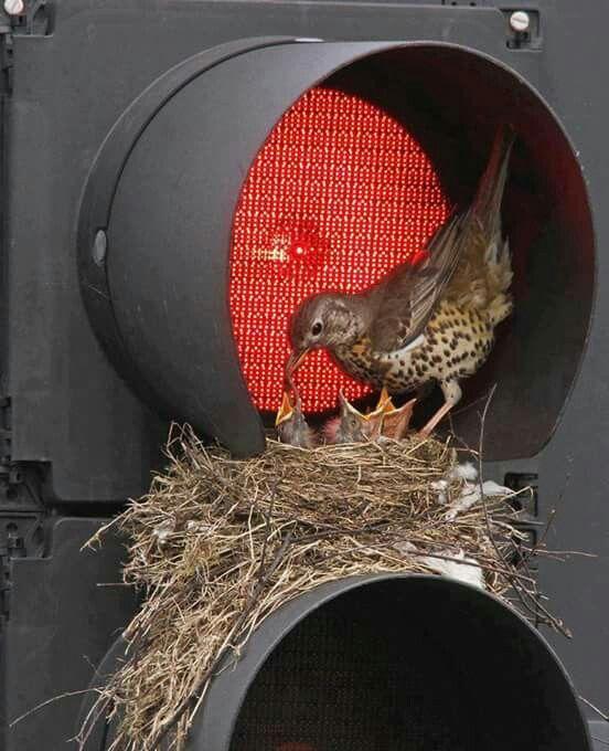 Mamãe pássaro e seus filhotes no semáforo