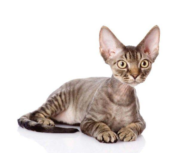 9 Best Hypoallergenic Cats For People With Allergies Devon Rex
