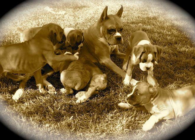 Bishop's Boxers San Diego | boxers | Boxer, Puppies, Sister