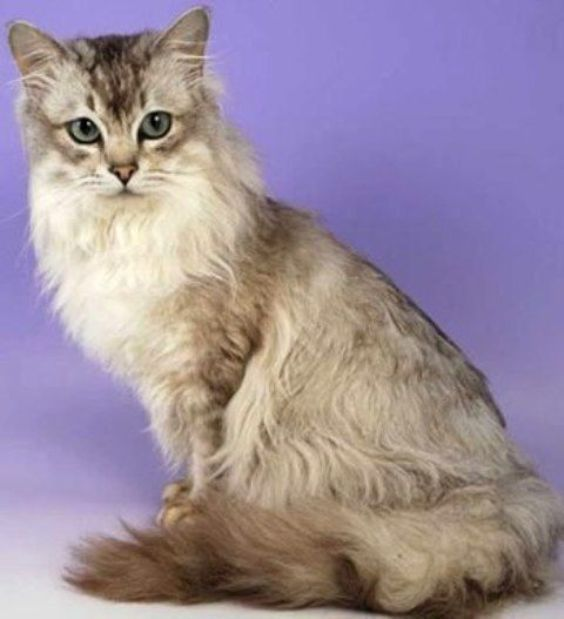 Pin On Cat Breeds That Are Rare
