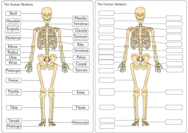 Human Skeleton Diagram Labelling Sheets