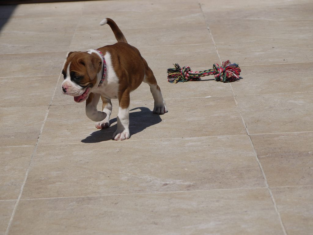 How To Train A Boxer Puppy Crate training puppy, Boxer