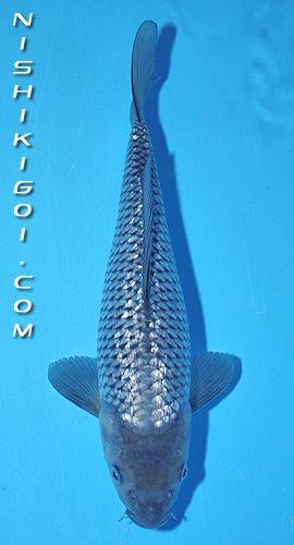 Ginrin Soragoi Koi Fish Koi Fish Pond Koi Carp