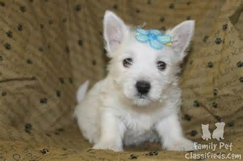 West Highland White Terrier Dog For Sale West Highland White Terrier With Images White Terrier West Highland White Terrier Terrier Puppies
