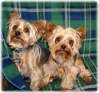 Palm City Fl Yorkie Yorkshire Terrier Meet The Brothers A Dog For Adoption Yorkshire Terrier Yorkie Yorkshire Terrier Yorkie