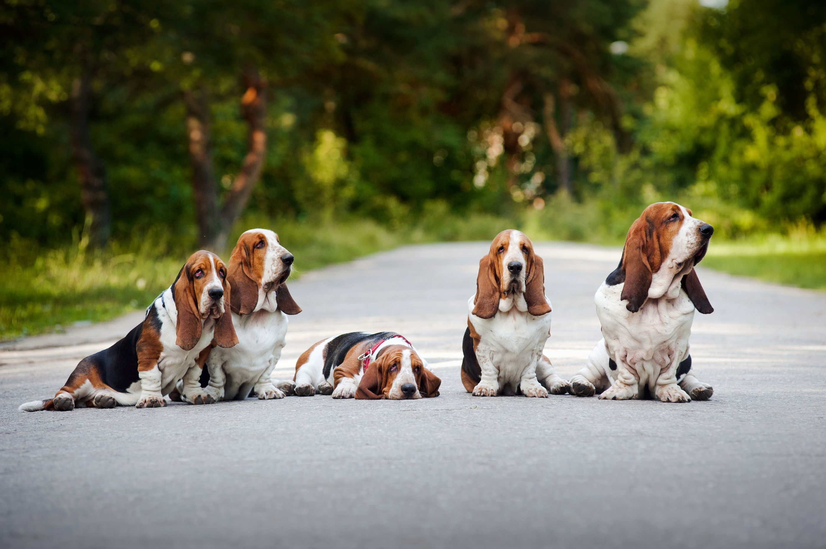The 35 Most Basset Hound Things To Happen In The History Of Basset