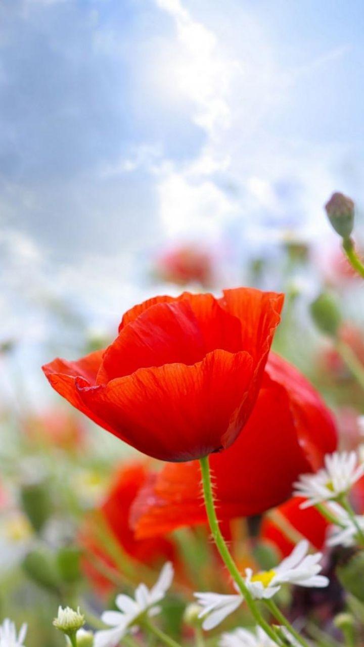 Download Wallpaper 720x1280 Poppies Daisies Field Sky Blur