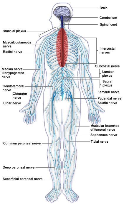 Upper Back Pain Bones Diagram - DIY Enthusiasts Wiring Diagrams •
