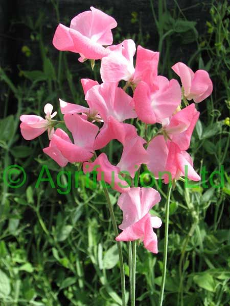 Sweet Pea Lathyrus Odorata Mrs R Bolton Flowers June To September