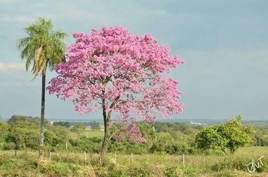 Arbol de Tajy en Itapua