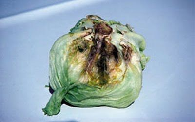 Pest Of The Week: Bottom Rot